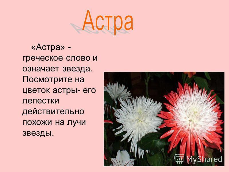 «Астра» - греческое слово и означает звезда. Посмотрите на цветок астры- его лепестки действительно похожи на лучи звезды.