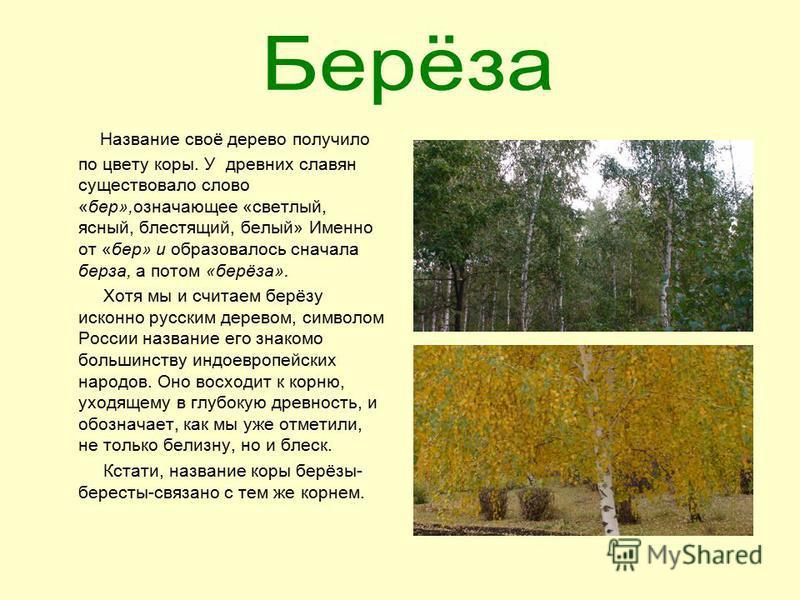 Название своё дерево получило по цвету коры. У древних славян существовало слово «бер»,означающее «светлый, ясный, блестящий, белый» Именно от «бер» и образовалось сначала береза, а потом «берёза». Хотя мы и считаем берёзу исконно русским деревом, си