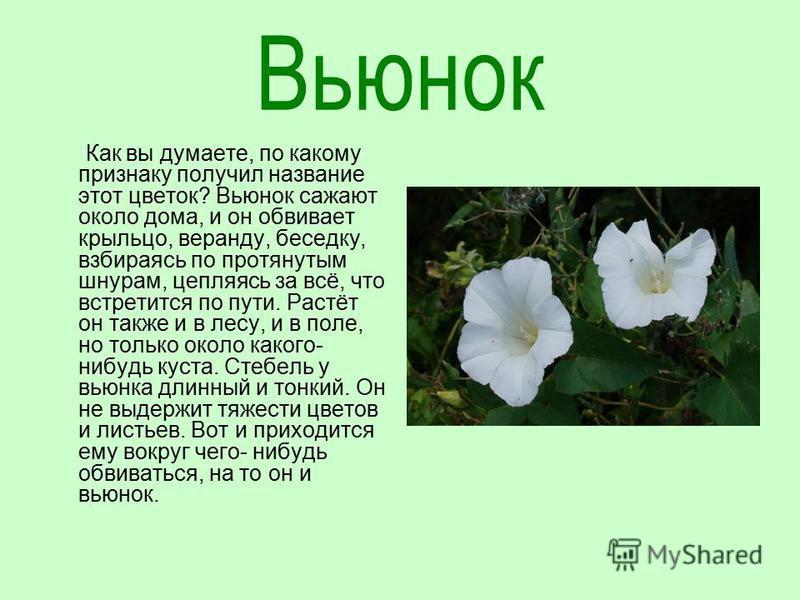 Как вы думаете, по какому признаку получил название этот цветок? Вьюнок сажают около дома, и он обвивает крыльцо, веранду, беседку, взбираясь по протянутым шнурам, цепляясь за всё, что встретится по пути. Растёт он также и в лесу, и в поле, но только
