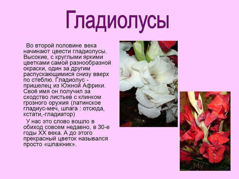 Во второй половине века начинают цвести гладиолусы. Высокие, с круглыми яркими цветками самой разнообразной окраски, один за другим распускающимися снизу вверх по стеблю. Гладиолус - пришелец из Южной Африки. Своё имя он получил за сходство листьев с