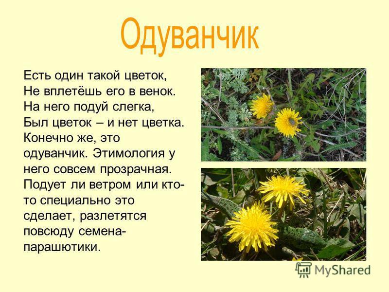 Есть один такой цветок, Не вплетёшь его в венок. На него подуй слегка, Был цветок – и нет цветка. Конечно же, это одуванчик. Этимология у него совсем прозрачная. Подует ли ветром или кто- то специально это сделает, разлетятся повсюду семена- парашюти