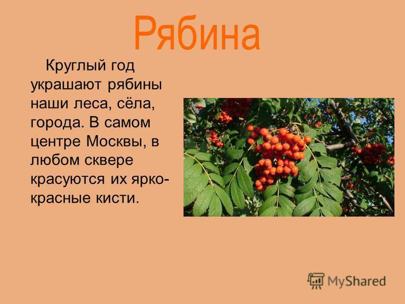 Круглый год украшают рябины наши леса, сёла, города. В самом центре Москвы, в любом сквере красуются их ярко- красные кисти.