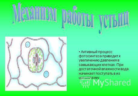 Активный процесс фотосинтеза приводит к увеличению давления в замыкающих клетках. При достаточной влажности вода начинает поступать в из цитоплазму