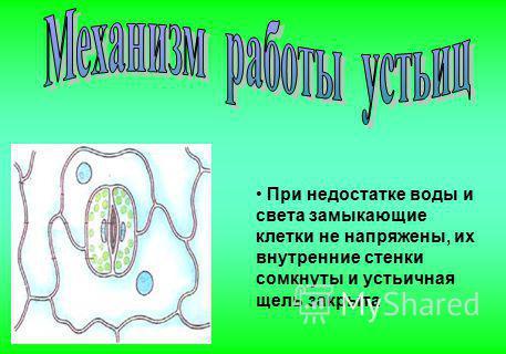 При недостатке воды и света замыкающие клетки не напряжены, их внутренние стенки сомкнуты и устьичная щель закрыта