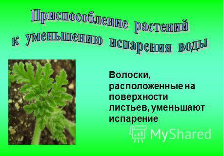 Волоски, расположенные на поверхности листьев, уменьшают испарение