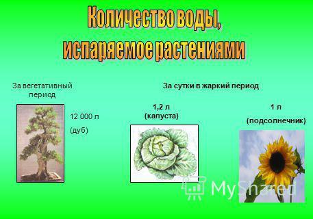 За вегетативный период 12 000 л (дуб) 1,2 л (капуста) За сутки в жаркий период 1 л (подсолнечник)