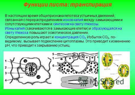 В настоящее время общепризнана гипотеза устьичных движений, связанная с перераспределением ионов калия между замыкающими и сопутствующими клетками и синтезом на свету глюкозы. Ионы калия (закачиваются в замыкающие клетки) и образующаяся на свету глюк