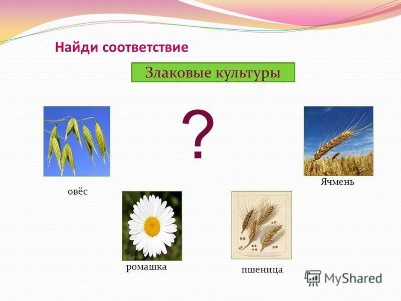 Найди соответствие Злаковые культуры пшеница ромашка овёс Ячмень ?
