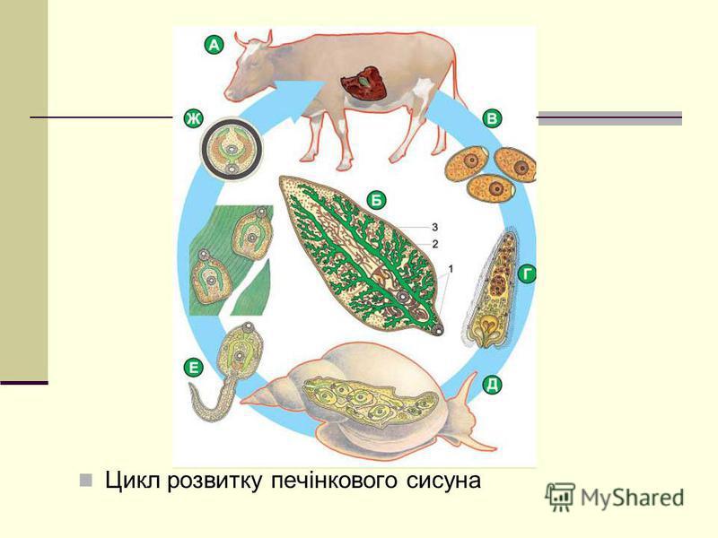 Цикл розвитку печінкового сисуна