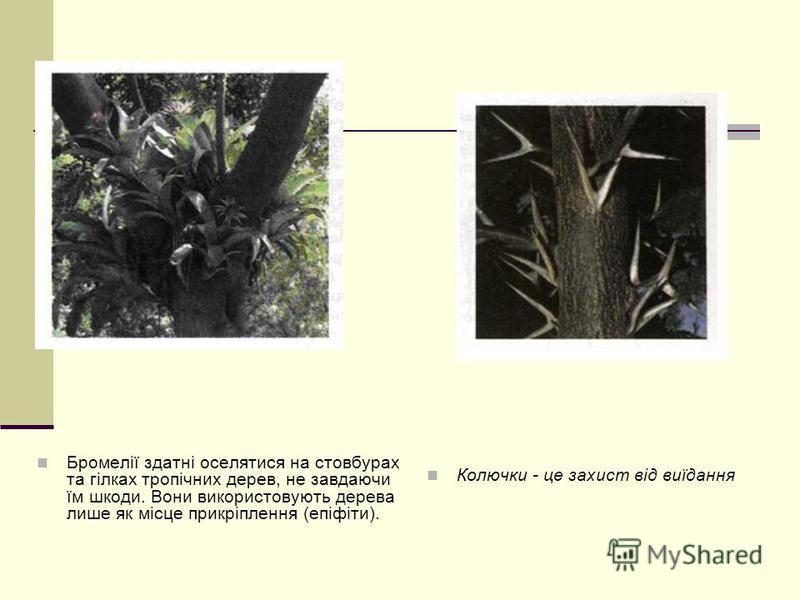 Бромелії здатні оселятися на стовбурах та гілках тропічних дерев, не завдаючи їм шкоди. Вони використовують дерева лише як місце прикріплення (епіфіти). Колючки - це захист від виїдання