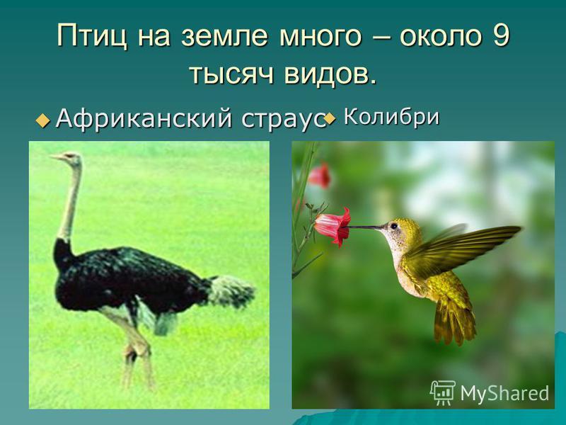 Птиц на земле много – около 9 тысяч видов. Африканский страус Африканский страус Колибри Колибри