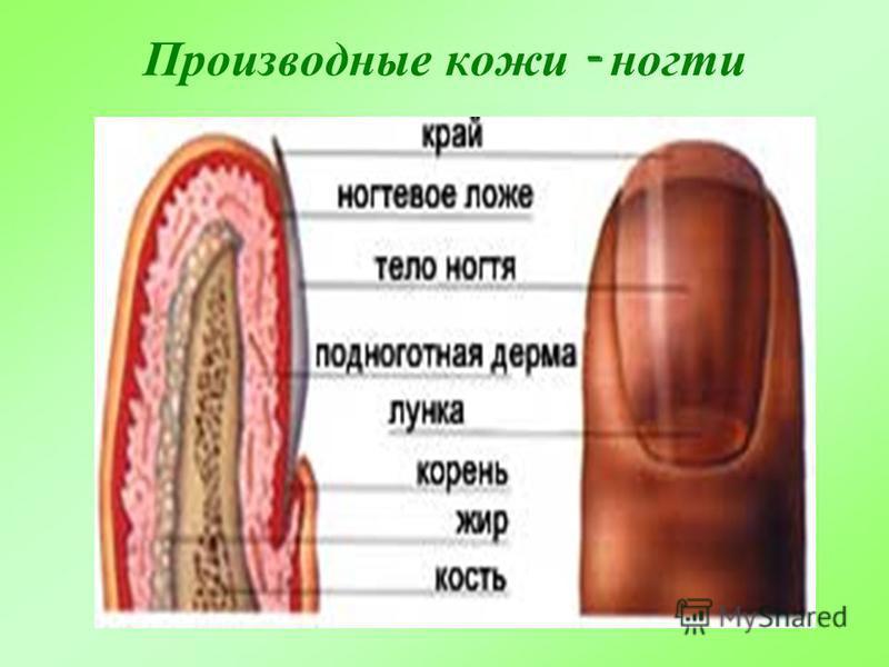 Производные кожи - ногти