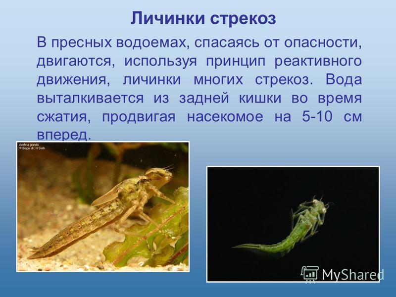 В пресных водоемах, спасаясь от опасности, двигаются, используя принцип реактивного движения, личинки многих стрекоз. Вода выталкивается из задней кишки во время сжатия, продвигая насекомое на 5-10 см вперед. Личинки стрекоз