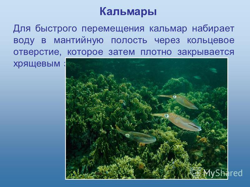 Для быстрого перемещения кальмар набирает воду в мантийную полость через кольцевое отверстие, которое затем плотно закрывается хрящевым замком. Кальмары
