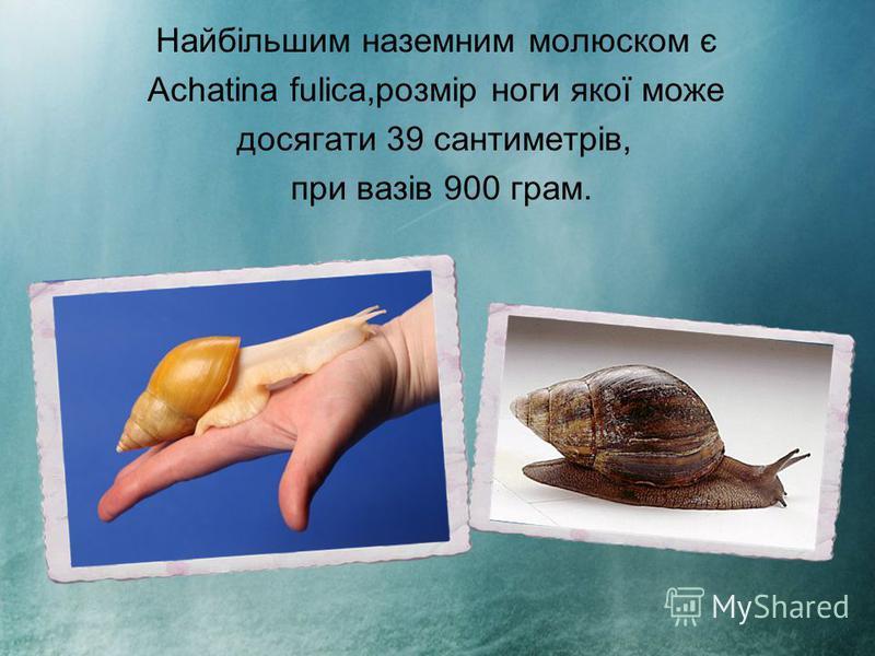 Найбільшим наземним молюском є Achatina fulica,розмір ноги якої може досягати 39 сантиметрів, при вазів 900 грам.