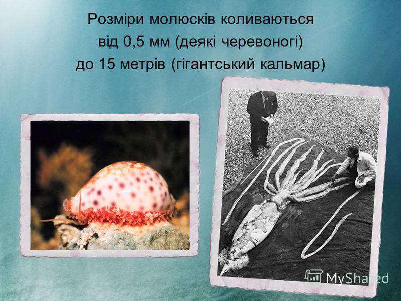 Розміри молюсків коливаються від 0,5 мм (деякі черевоногі) до 15 метрів (гігантський кальмар)