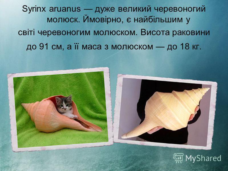 Syrinx aruanus дуже великий черевоногий молюск. Ймовірно, є найбільшим у світі черевоногим молюском. Висота раковини до 91 см, а її маса з молюском до 18 кг.