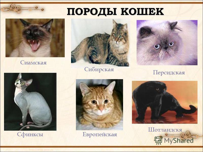 ПОРОДЫ КОШЕК Европейская Сиамская Персидская Сибирская Шотландскя Сфинксы
