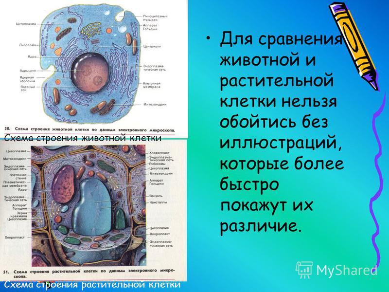 Для сравнения животной и растительной клетки нельзя обойтись без иллюстраций, которые более быстро покажут их различие. Схема строения растительной клетки Схема строения животной клетки