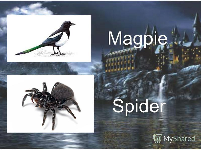Magpie Spider
