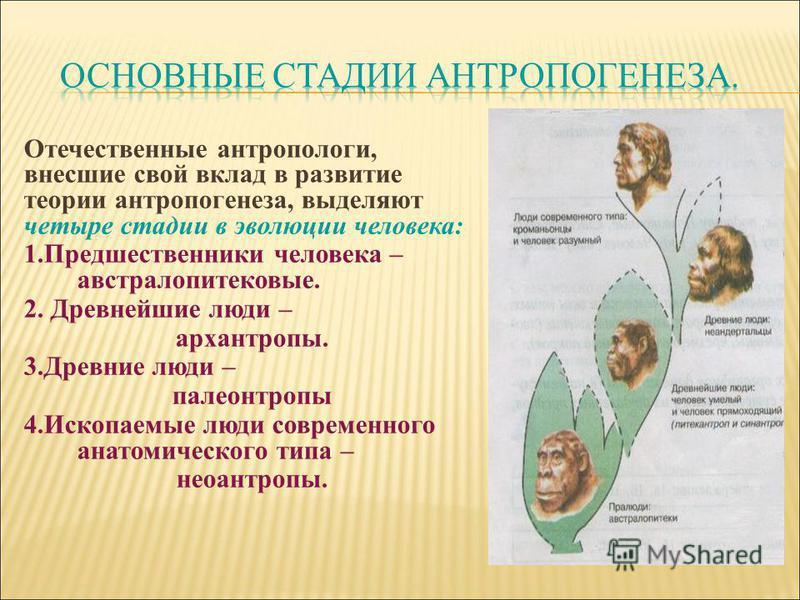 Отечественные антропологи, внесшие свой вклад в развитие теории антропогенеза, выделяют четыре стадии в эволюции человека: 1. Предшественники человека – австралопитековые. 2. Древнейшие люди – архантропы. 3. Древние люди – палеоантропы 4. Ископаемые