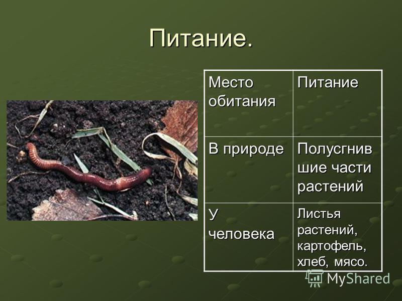 Питание. Место обитания Питание В природе Полусгнив шие части растений У человека Листья растений, картофель, хлеб, мясо.