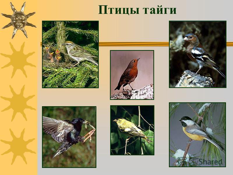 Птицы тайги