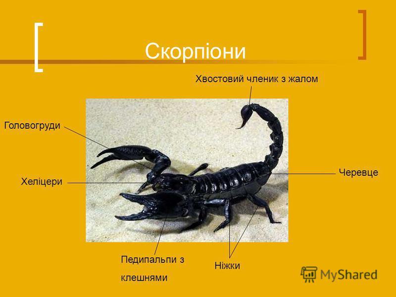 Скорпіони Ніжки Педипальпи з клешнями Хеліцери Головогруди Хвостовий членик з жалом Черевце