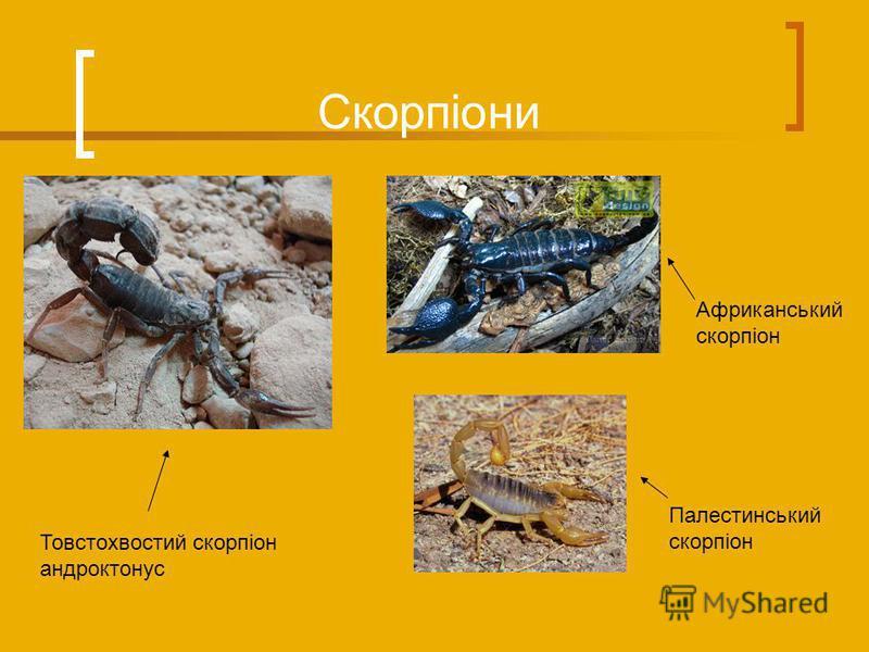 Скорпіони Палестинський скорпіон Товстохвостий скорпіон андроктонус Африканський скорпіон