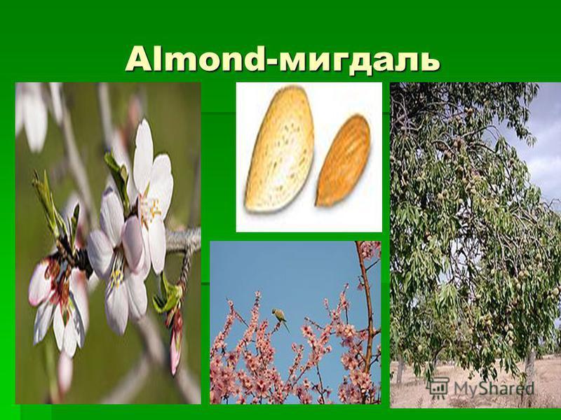 Almond-мигдаль Almond-мигдаль