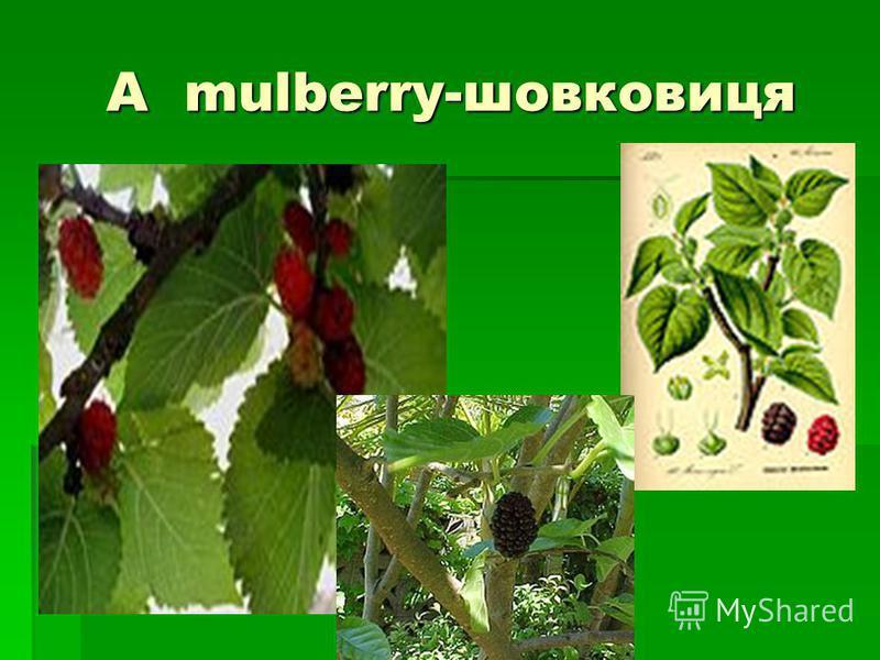 A mulberry-шовковиця A mulberry-шовковиця