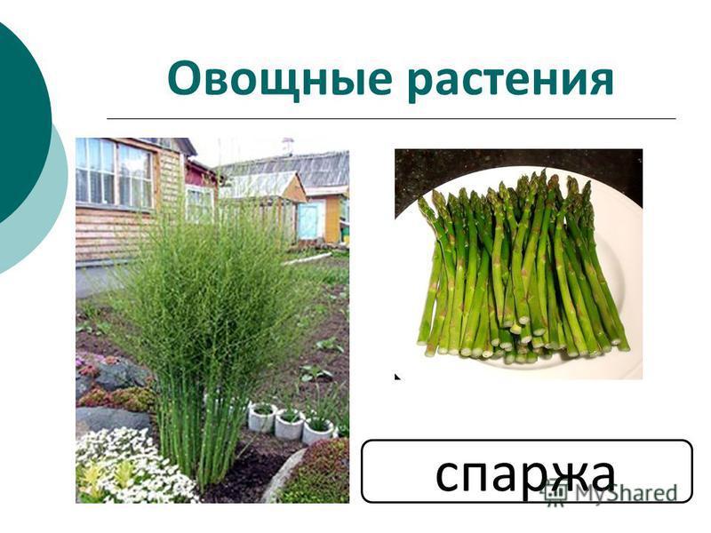 Овощные растения спаржа