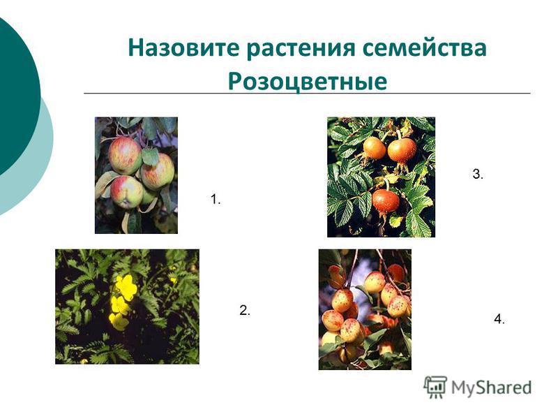Назовите растения семейства Розоцветные 1. 2. 3. 4.