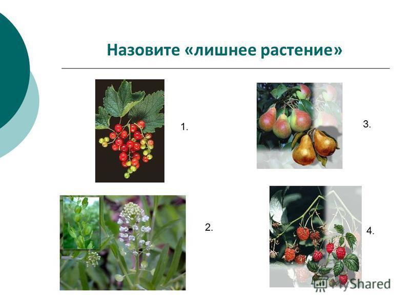 Назовите «лишнее растение» 1. 2. 3. 4.