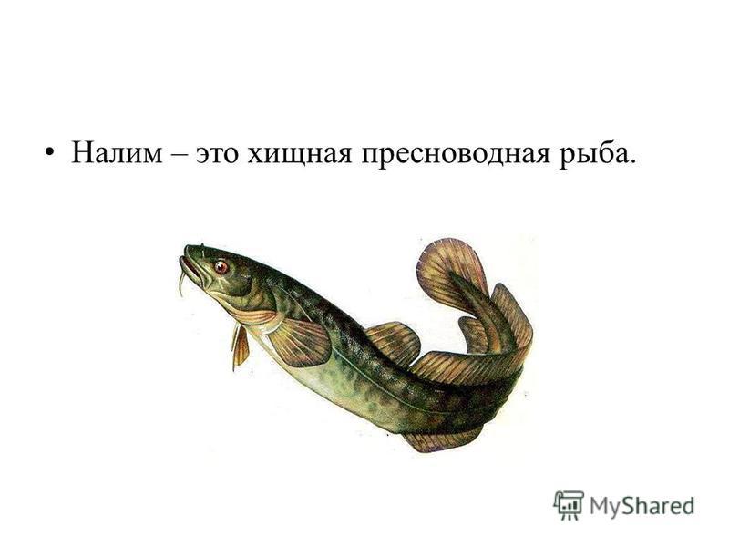 Налим – это хищная пресноводная рыба.