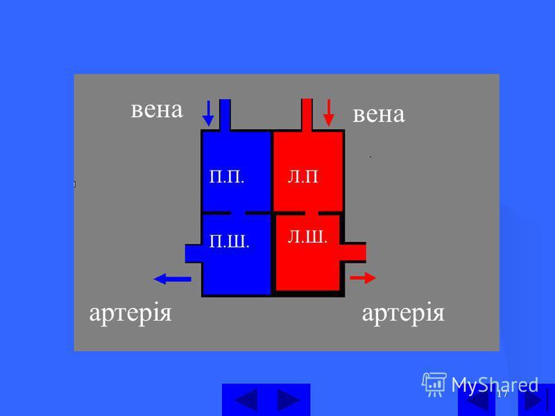 17 П.П. П.Ш. Л.П Л.Ш. вена вена артеріяартерія