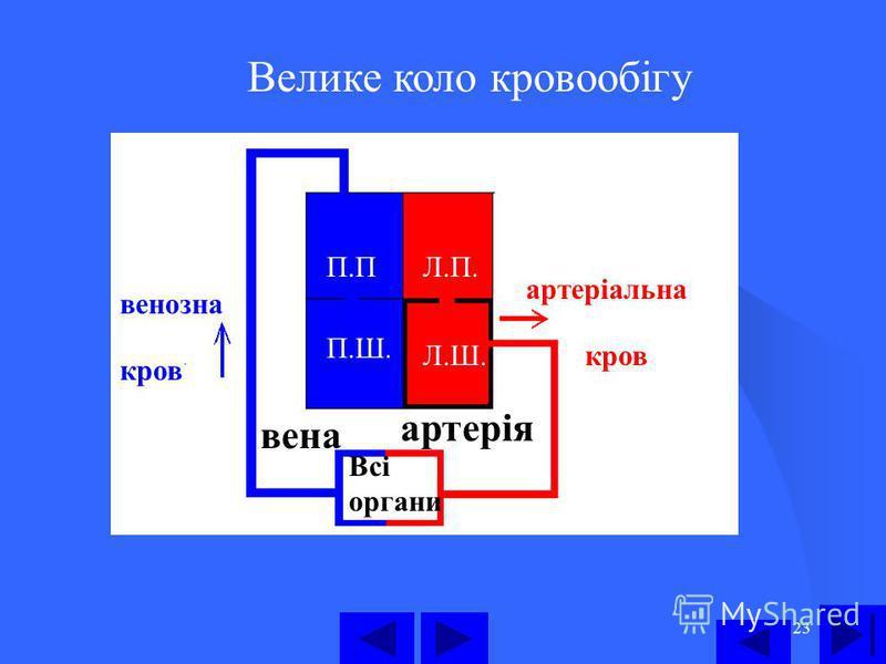 23 Велике коло кровообігу П.П П.Ш. Л.П. Л.Ш. Всі органи артерія вена артеріальна кров венозна кров