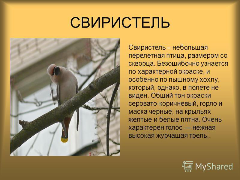 СВИРИСТЕЛЬ Свиристель – небольшая перелетная птица, размером со скворца. Безошибочно узнается по характерной окраске, и особенно по пышному хохлу, который, однако, в полете не виден. Общий тон окраски серовато-коричневый, горло и маска черные, на кры