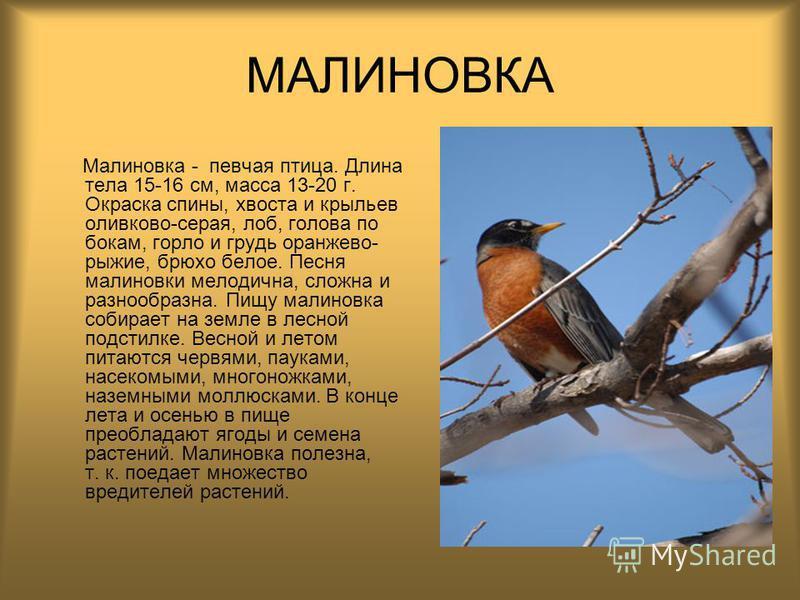 МАЛИНОВКА Малиновка - певчая птица. Длина тела 15-16 см, масса 13-20 г. Окраска спины, хвоста и крыльев оливково-серая, лоб, голова по бокам, горло и грудь оранжево- рыжие, брюхо белое. Песня малиновки мелодична, сложна и разнообразна. Пищу малиновка