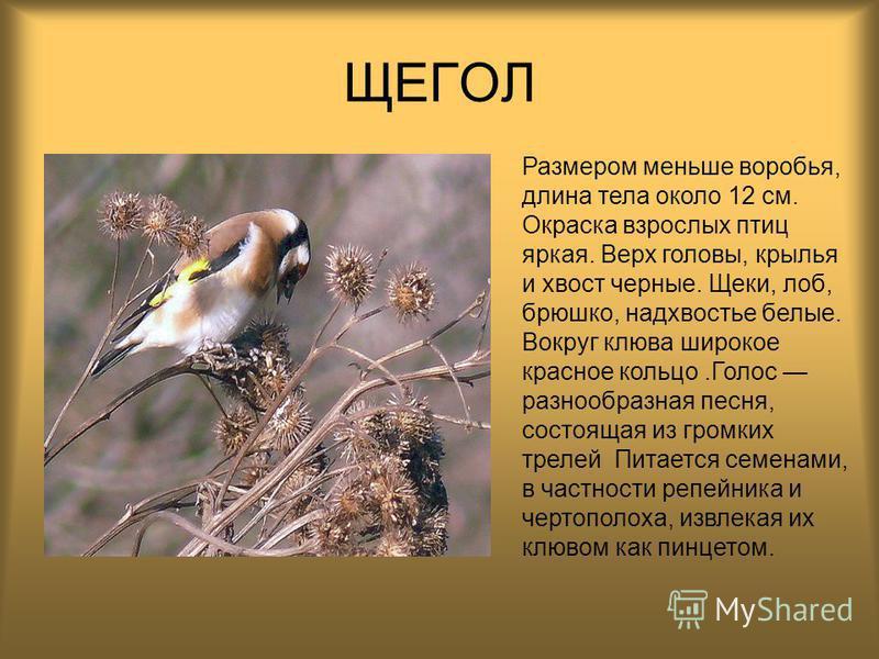 ЩЕГОЛ Размером меньше воробья, длина тела около 12 см. Окраска взрослых птиц яркая. Верх головы, крылья и хвост черные. Щеки, лоб, брюшко, надхвостье белые. Вокруг клюва широкое красное кольцо.Голос разнообразная песня, состоящая из громких трелей Пи