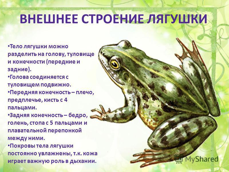ВНЕШНЕЕ СТРОЕНИЕ ЛЯГУШКИ Тело лягушки можно разделить на голову, туловище и конечности (передние и задние). Голова соединяется с туловищем подвижно. Передняя конечность – плечо, предплечье, кисть с 4 пальцами. Задняя конечность – бедро, голень, стопа
