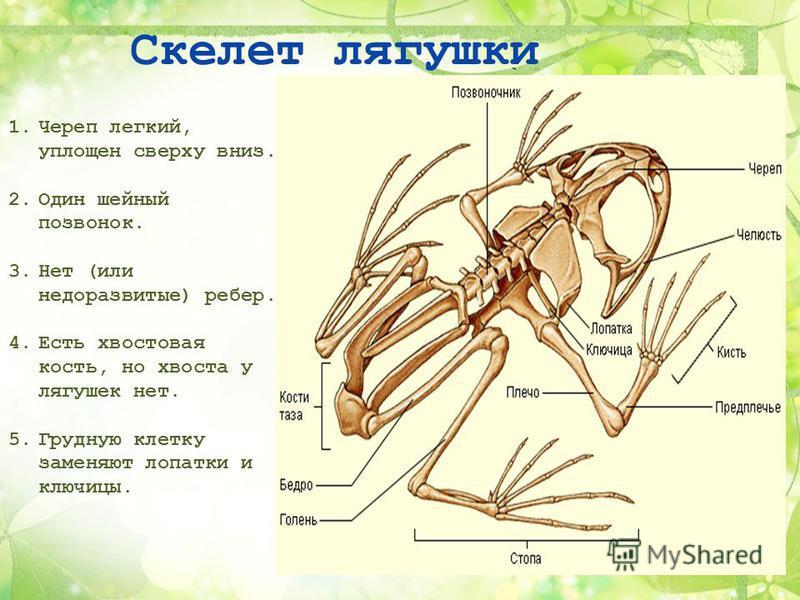 Скелет лягушки 1. Череп легкий, уплощен сверху вниз. 2. Один шейный позвонок. 3. Нет (или недоразвитые) ребер. 4. Есть хвостовая кость, но хвоста у лягушек нет. 5. Грудную клетку заменяют лопатки и ключицы.