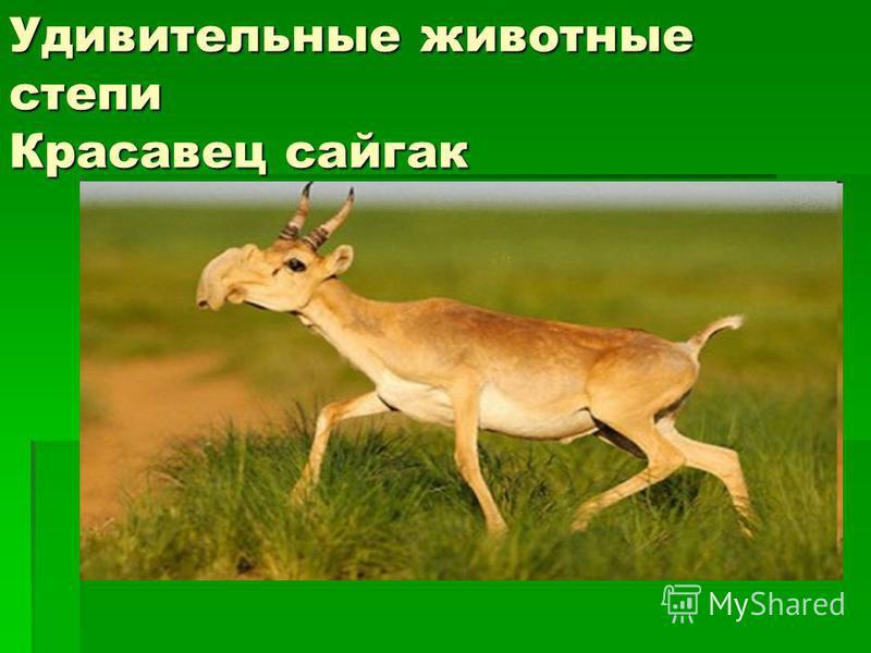Удивительные животные степи Красавец сайгак