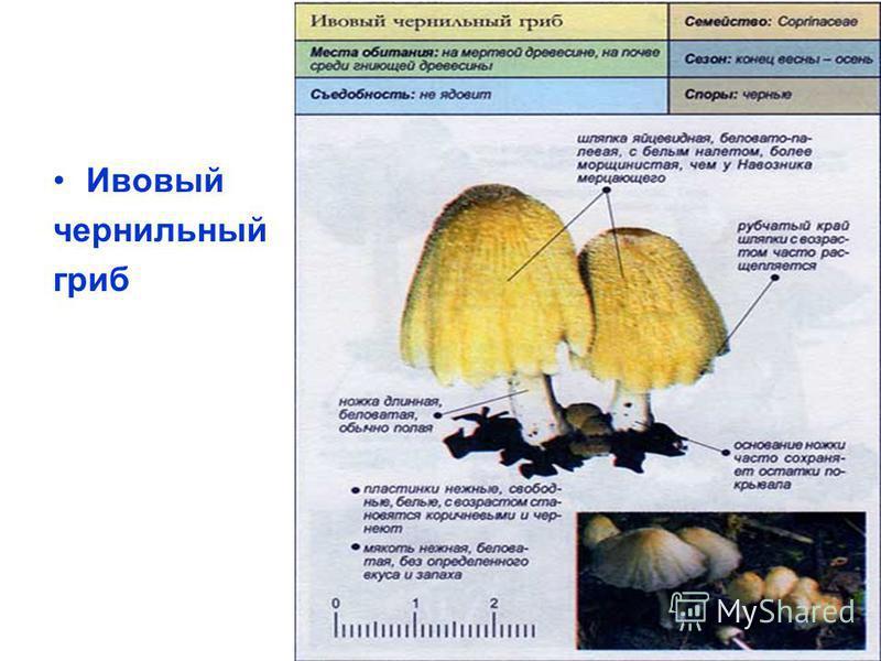 Ивовый чернильный гриб