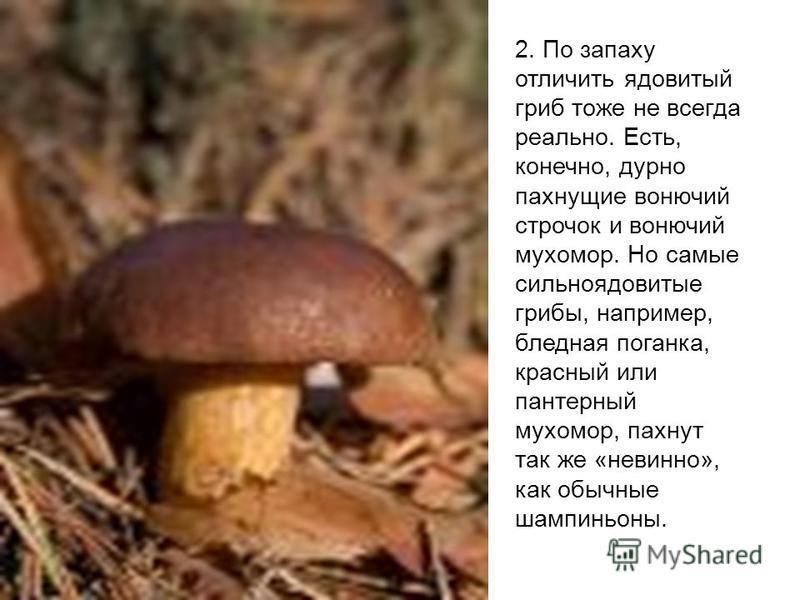 2. По запаху отличить ядовитый гриб тоже не всегда реально. Есть, конечно, дурно пахнущие вонючий строчок и вонючий мухомор. Но самые сильно ядовитые грибы, например, бледная поганка, красный или пантерный мухомор, пахнут так же «невинно», как обычны