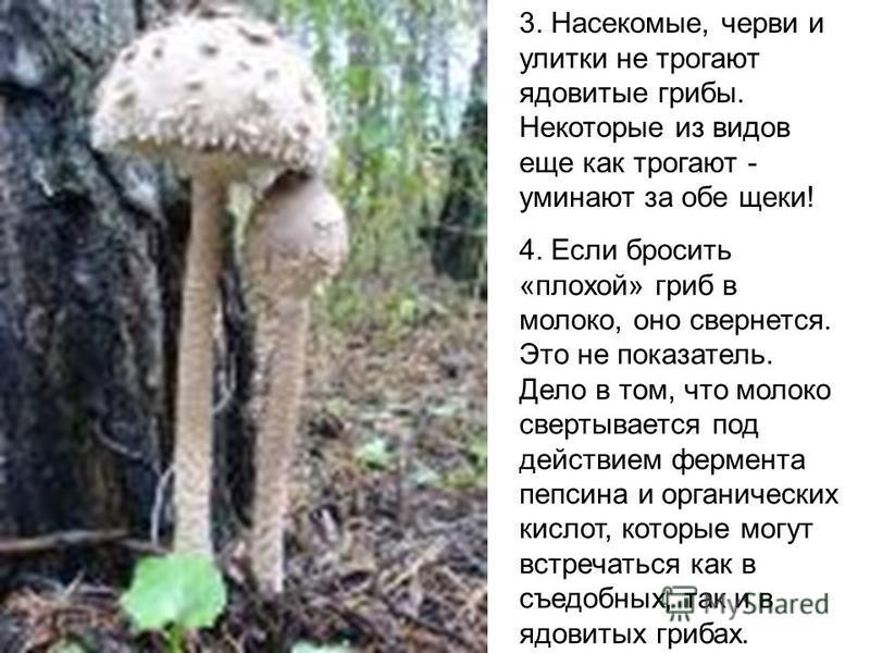 3. Насекомые, черви и улитки не трогают ядовитые грибы. Некоторые из видов еще как трогают - уминают за обе щеки! 4. Если бросить «плохой» гриб в молоко, оно свернется. Это не показатель. Дело в том, что молоко свертывается под действием фермента пеп