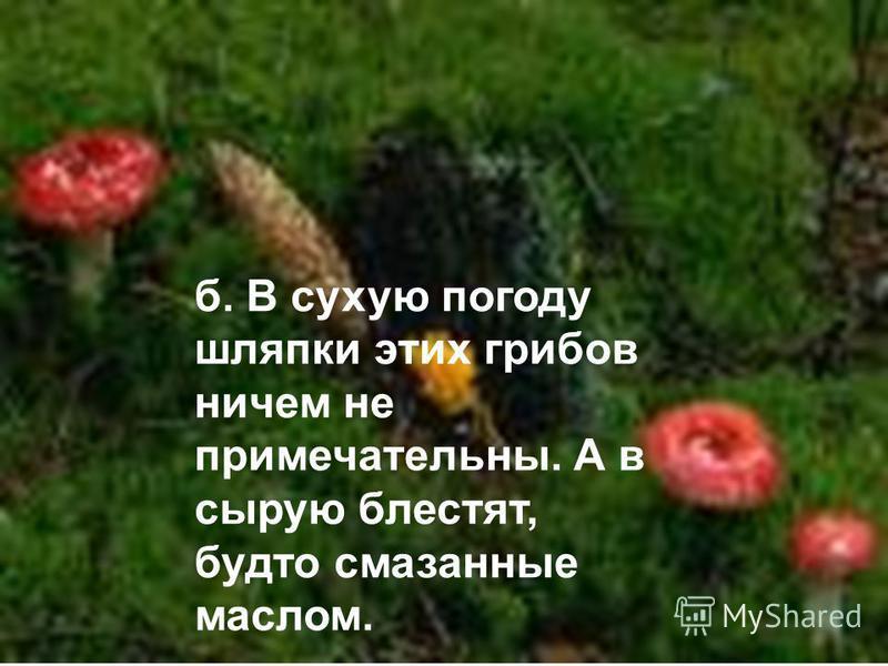 б. В сухую погоду шляпки этих грибов ничем не примечательны. А в сырую блестят, будто смазанные маслом.