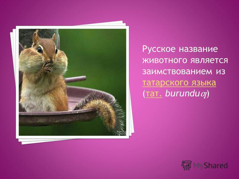 Русское название животного является заимствованием из татарского языка (тат. burundu ƣ ) татарского языка тат.