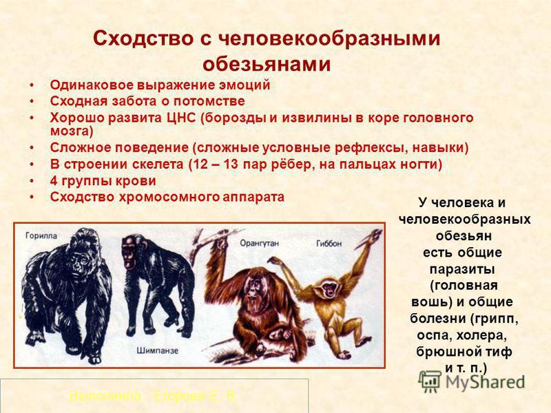 Сходство с человекообразными обезьянами Одинаковое выражение эмоций Сходная забота о потомстве Хорошо развита ЦНС (борозды и извилины в коре головного мозга) Сложное поведение (сложные условные рефлексы, навыки) В строении скелета (12 – 13 пар рёбер,
