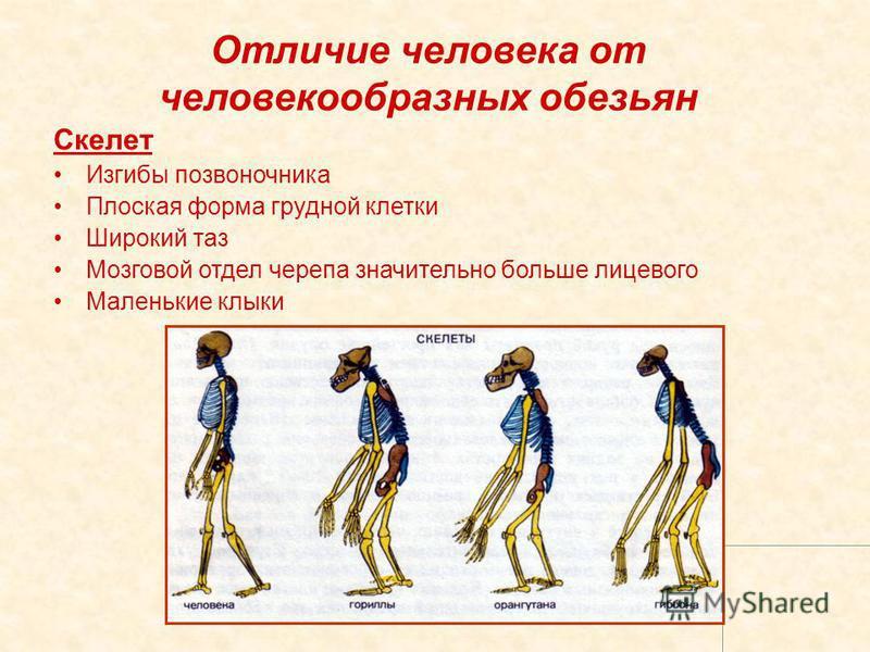 Отличие человека от человекообразных обезьян Скелет Изгибы позвоночника Плоская форма грудной клетки Широкий таз Мозговой отдел черепа значительно больше лицевого Маленькие клыки
